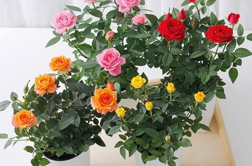 玫瑰花白粉病怎么治 玫瑰花叶子上一直长白粉怎