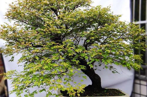 小叶紫檀盆景冬天怕冻吗 怎么养(图)