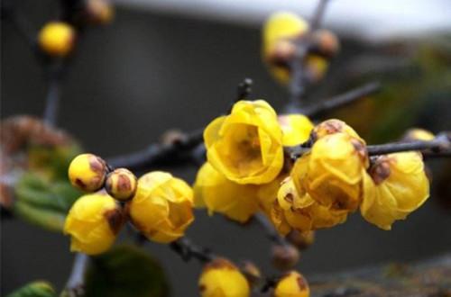 盆栽腊梅用什么土壤好 盆栽腊梅用土注意事项(图