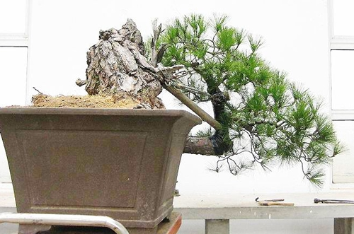 马尾松盆景怎么种植 马尾松盆景