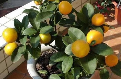 金桔树冬天怎么养 怎么浇水(图)