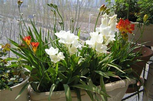 香雪兰什么时候开花 影响香雪兰开花的原因(图)