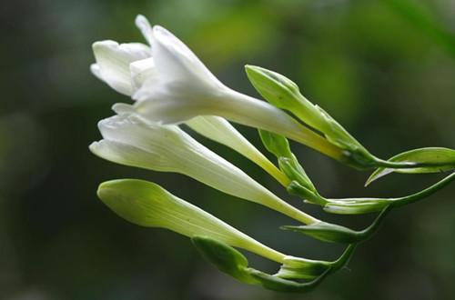 怎样让香雪兰提前开花 如何让香雪兰提前开花(图