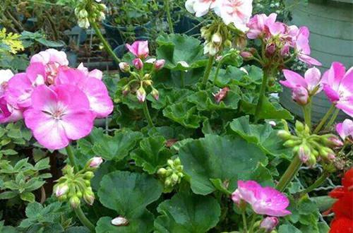 如何让天竺葵开花更多 怎么延长天竺葵开花时间(