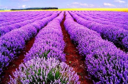 薰衣草怎么种植 薰衣草的种植方法和注意事项(图