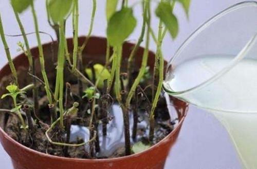 淘米水自制水培营养液方法 简单实用效果比买的好(图)