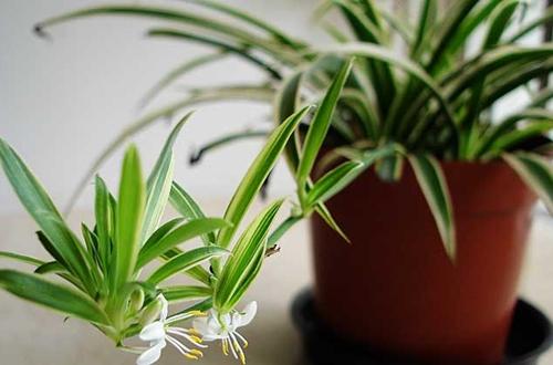 哪些花和植物不需要晒太阳(图)