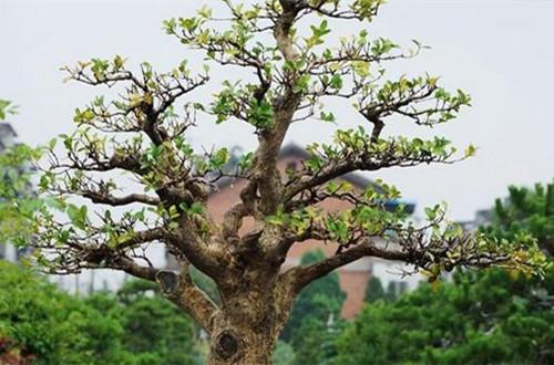 小叶黄杨怎么做盆景 小叶黄杨盆