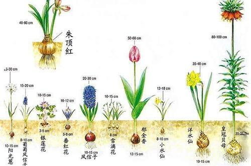 球根植物难养吗 球根植物怎么养(图)