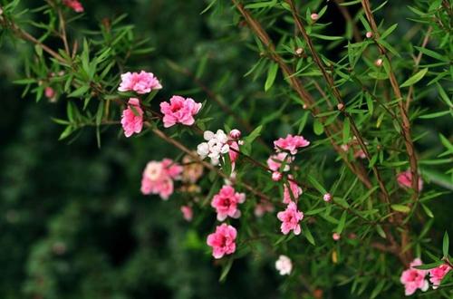 松红梅怎么养 松红梅的养殖方法