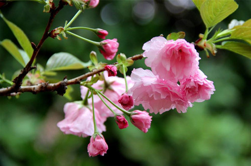 樱花花期是什么时候 樱花花期怎么养护(图)
