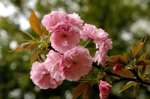 樱花开花前要怎么养护 如何让樱花树多开花(图)
