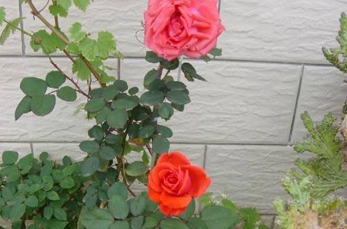 玫瑰花怎么修剪枝叶 玫瑰花的修