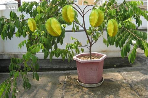 杨桃种子能做盆栽吗 杨桃种子怎么种盆栽(图)