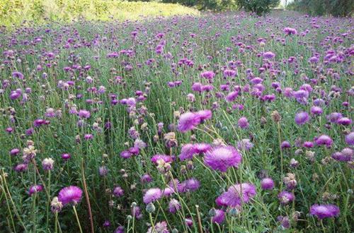 香矢车菊种子怎么种植 香矢车菊