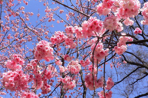 樱花种子怎么种植 樱花种子的种