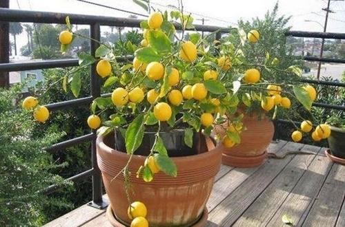 盆栽柠檬为什么不结果 盆栽柠檬