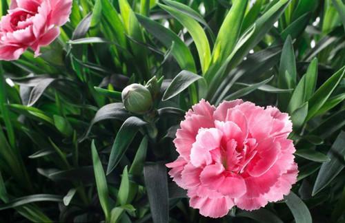 康乃馨种子怎么种植 康乃馨种子