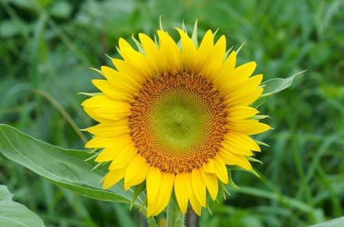 向日葵种子怎么种植 向日葵种子