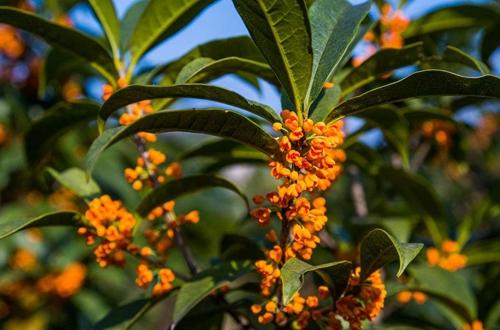 金桂花树怎么养 金桂花树的养殖