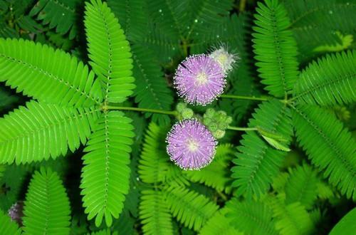 <b>含羞草种子怎么种植 含羞草种子的种植方法和注意事项(图)</b>