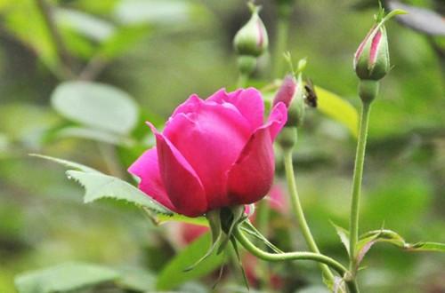 怎么区分玫瑰和月季 玫瑰与月季