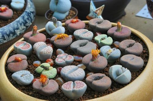 生石花怎么养 生石花的养殖方法
