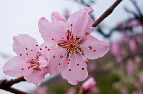 桃花怎么养 桃花的养殖方法和注