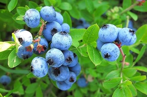 蓝莓怎么养才能更旺盛 蓝莓的种