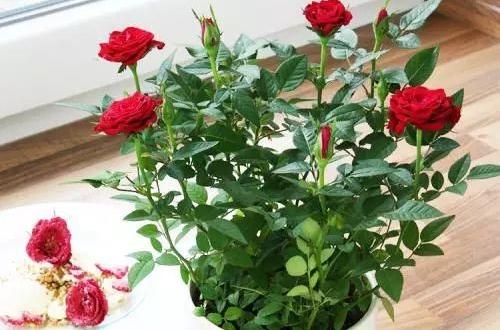 迷你玫瑰怎么修剪 迷你玫瑰的修