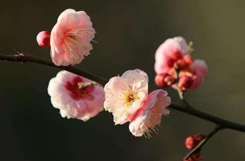 梅花什么时候长叶子 梅花不长叶