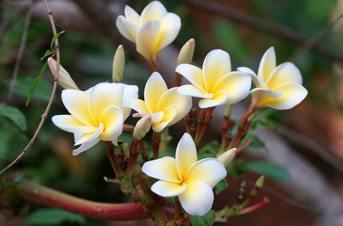 鸡蛋花叶子发黄是什么原因 鸡蛋花叶子发黄怎么办(图)