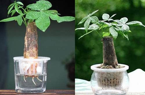 水培发财树怎么样养殖 水培发财树烂根怎么处理(图)