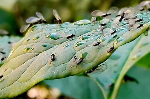 家里有小飞虫怎么办 花盆里发现有小飞虫怎么处理(图)