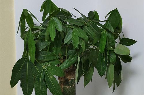发财树叶子耷拉怎么办 发财树叶