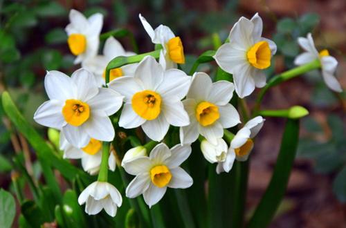 年宵花之水仙、大花蕙兰、凤梨的