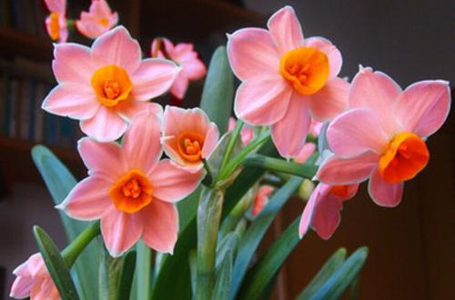 年销花之洋水仙、风信子、朱顶红