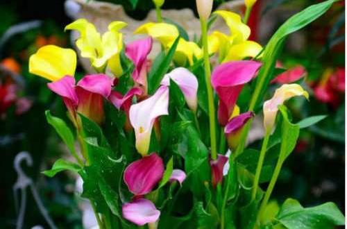 彩色马蹄莲有哪些栽培常识呢?