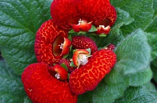 蒲包花怎么养 蒲包花的养殖方法和注意事项