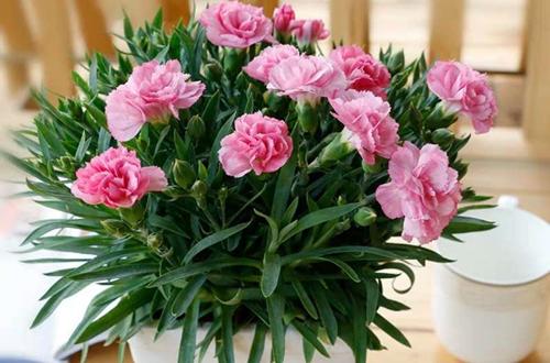 盆栽康乃馨的栽培常识有哪些
