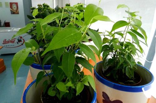 什么植物增加空气湿度 增加空气湿度的植物有哪些(图)
