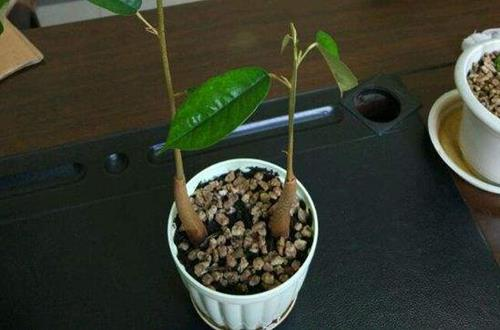 榴莲在北方能养吗 榴莲盆栽怎么