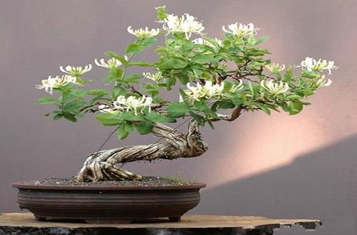 金银花盆栽怎么拿弯 金银花盆栽的拿弯技巧和注意事项(图)