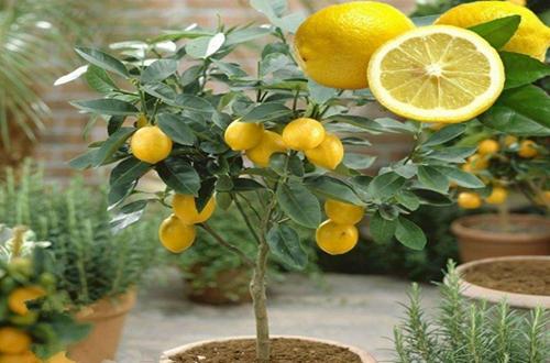为什么柠檬结果后容易落果,怎样