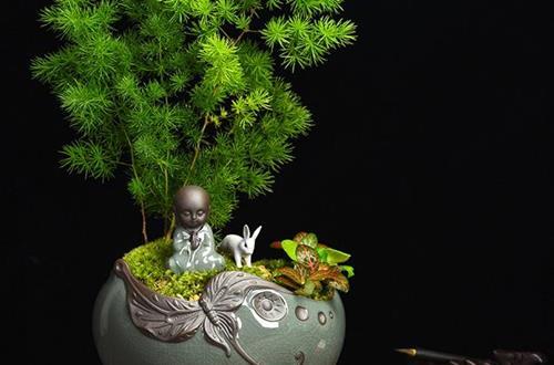蓬莱松盆景制作方法 蓬莱松盆景