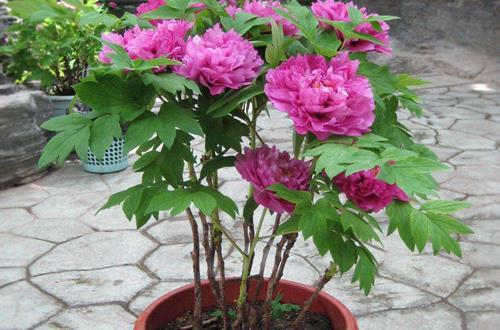 盆栽芍药花的养殖方法 芍药花为