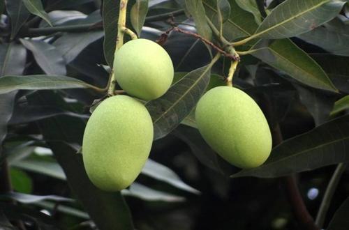 盆栽芒果的养殖方法 芒果盆栽几