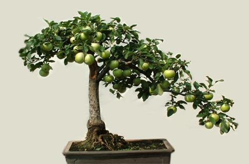 盆栽枣树只开花不结果怎么办 枣