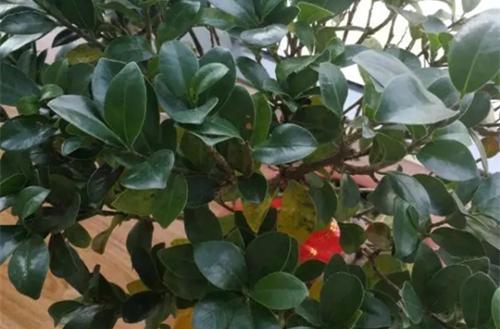 人参榕黄叶掉叶子怎么回事,怎么