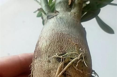 沙漠玫瑰根部发软是什么原因 沙